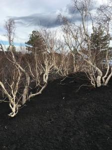 Birch trees on Mt Etna