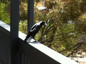 Magpie on the varandah raiming